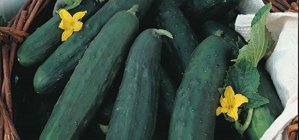 بذر خیار سبز لوتجا فلات قاره